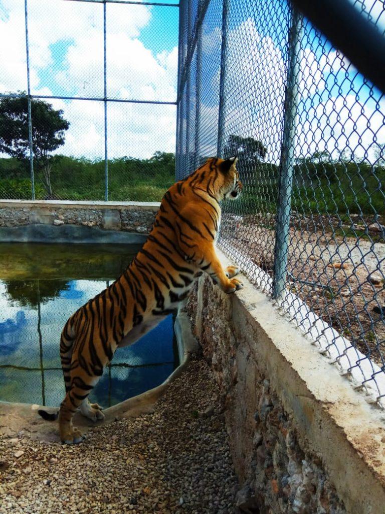 PROFEPA_Tigres de bengala asegurados 1