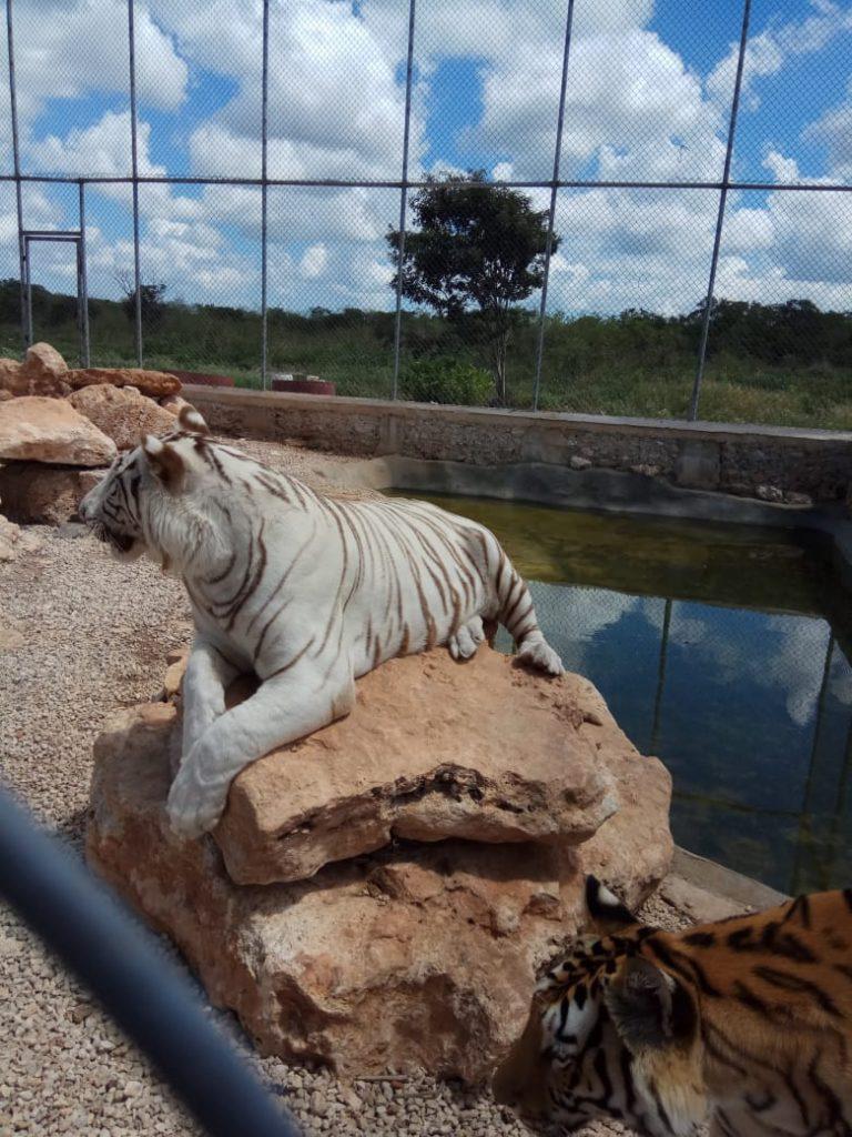 PROFEPA_Tigres de bengala asegurados 3